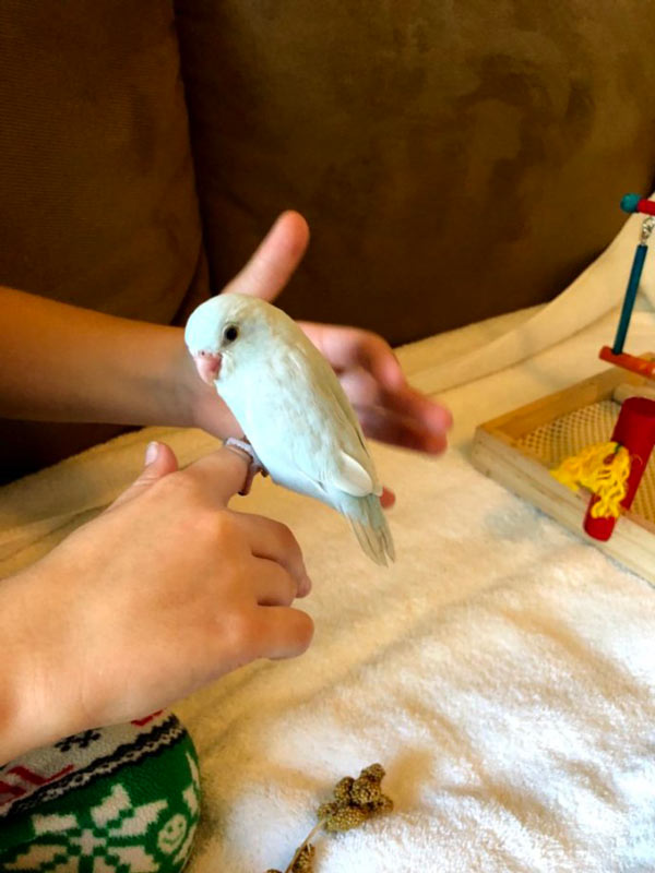 Hand-reared Parrotlets for Sale - Palm Beach Gardens